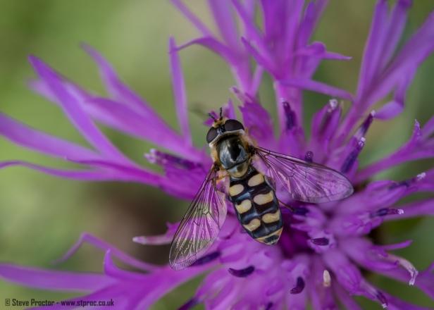 Hoverfly (Sericomyia silentis) (web)