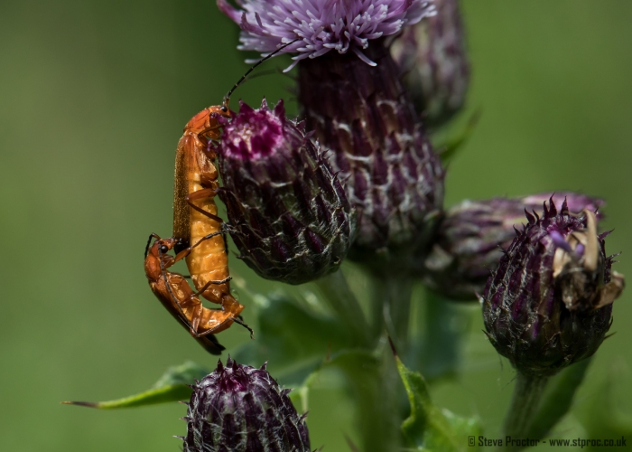 Mating Soldier Beetles (web)