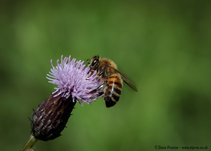 Western Honey Bee (web)