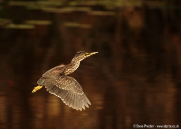 Juvenile Green Backed Heron