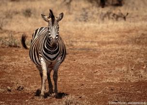 Heavily Pregnant Zebra