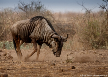 Wildebeest Kicking Up Dust