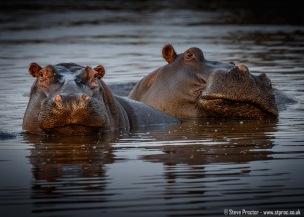 Hippo Pair