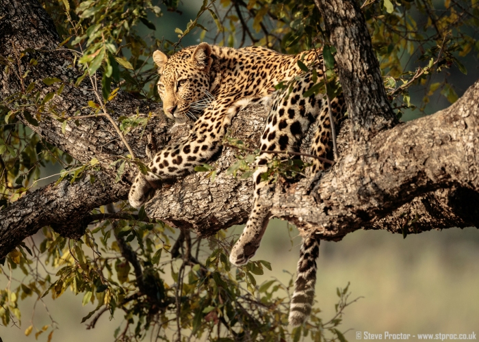 7D2_19546 - Leopard in a Tree