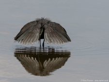 Black Egret