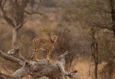 Cheetah Surveying the Bush