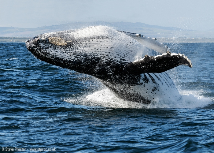7D2_20200 - Humpback Whale Breaching