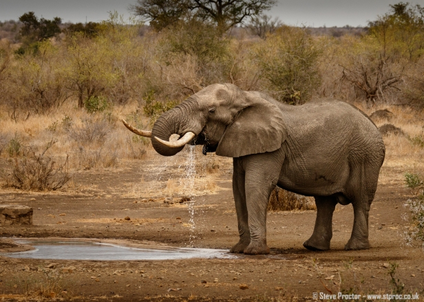 Elephant Drinking at Waterhole
