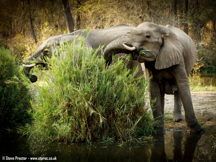 Elephants at Lake Panic