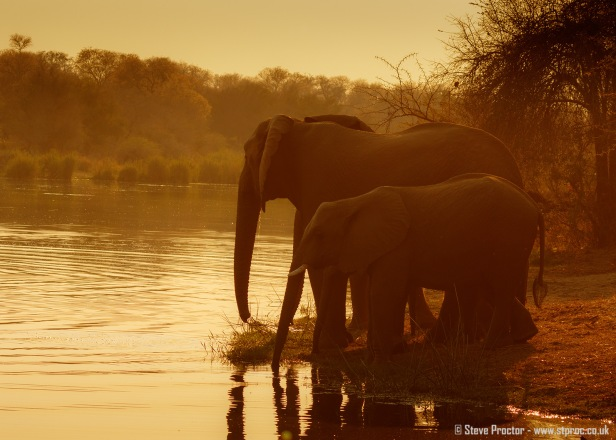 Elephants Drinking at Sunrise