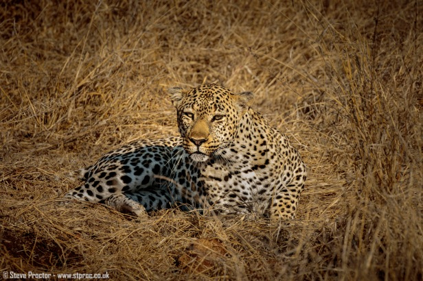 Leopard Warming in the Early Sun (1)