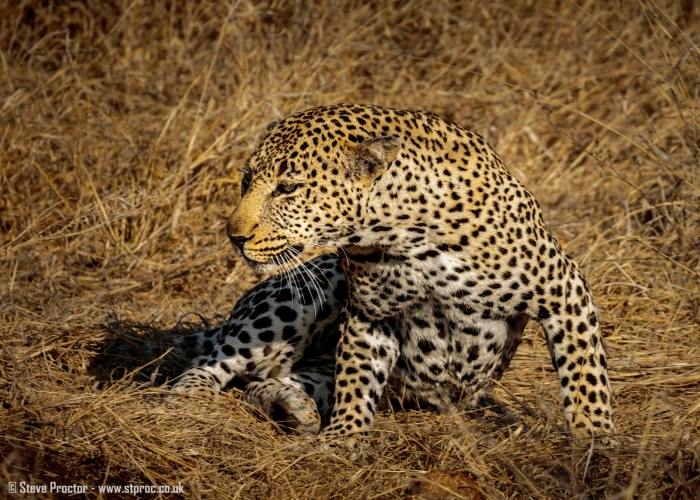 Leopard Warming in the Early Sun (2)