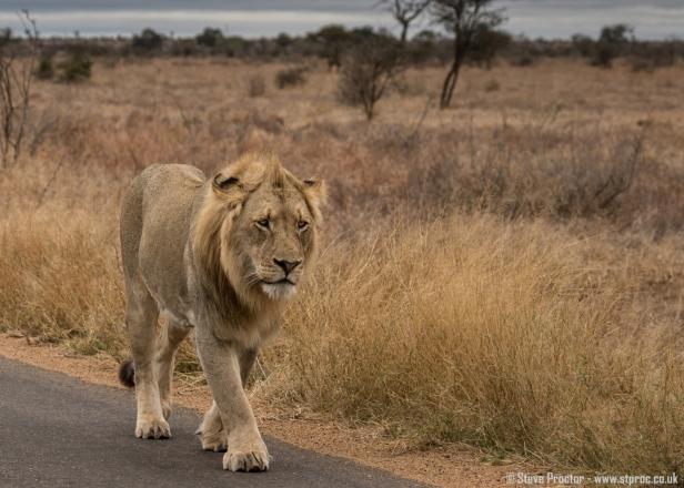 Lion Patrolling