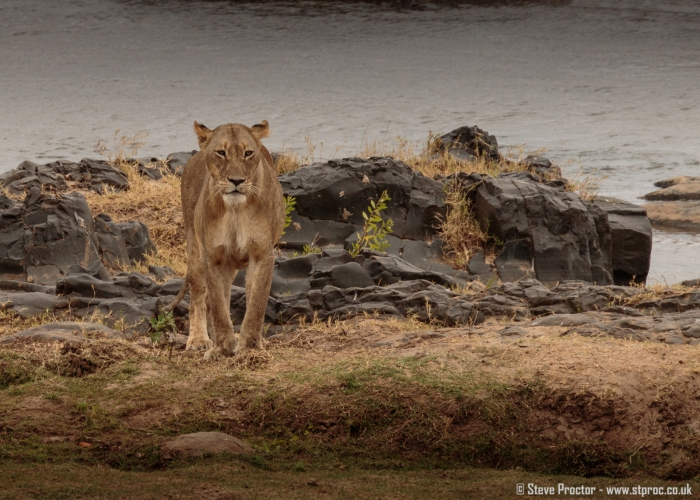 Lioness on Riverbank