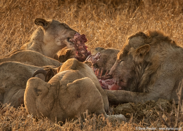 Lions at Wildebeest Kill (1)
