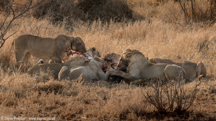 Lions at Wildebeest Kill (3)