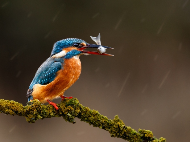 Kingfisher and Minnow