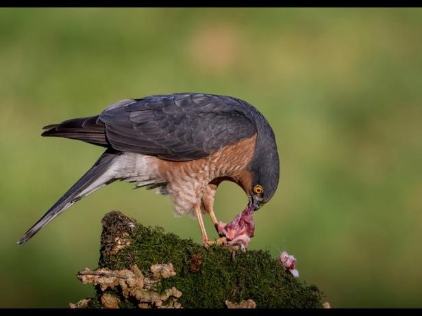 Sparrowhawk and Kill