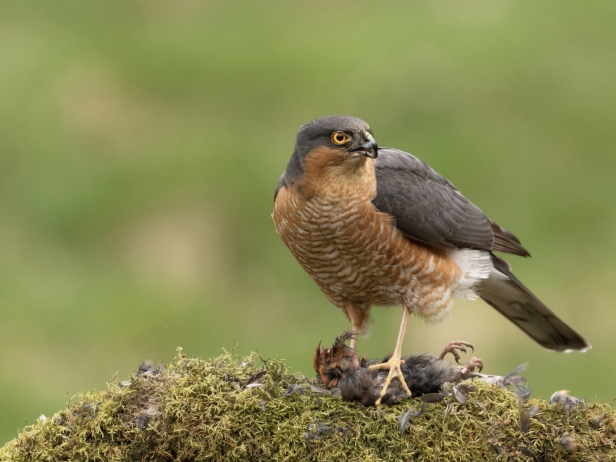 Sparrowhawk with Crossbill Catch
