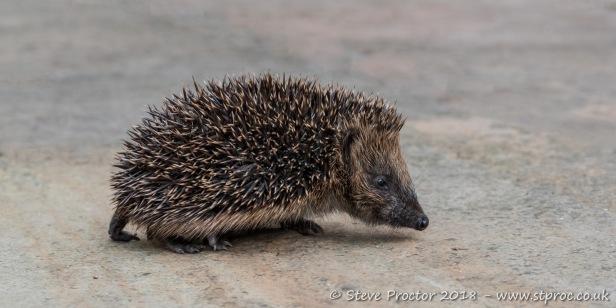 Hedgehog Juvenile (2)