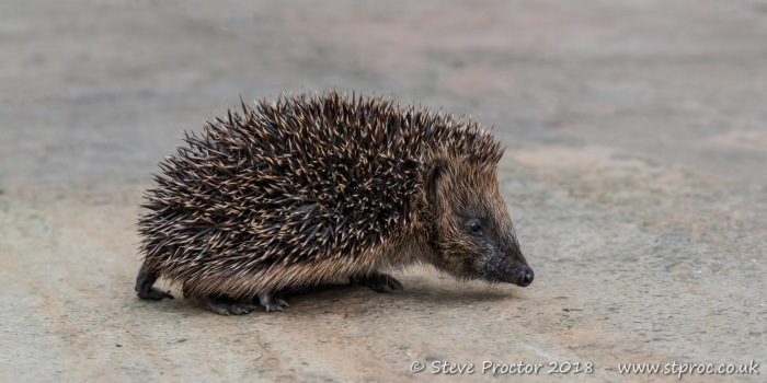 Hedgehog Juvenile (2)