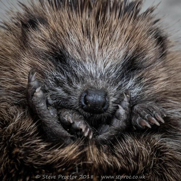 Hedgehog Juvenile (3) web