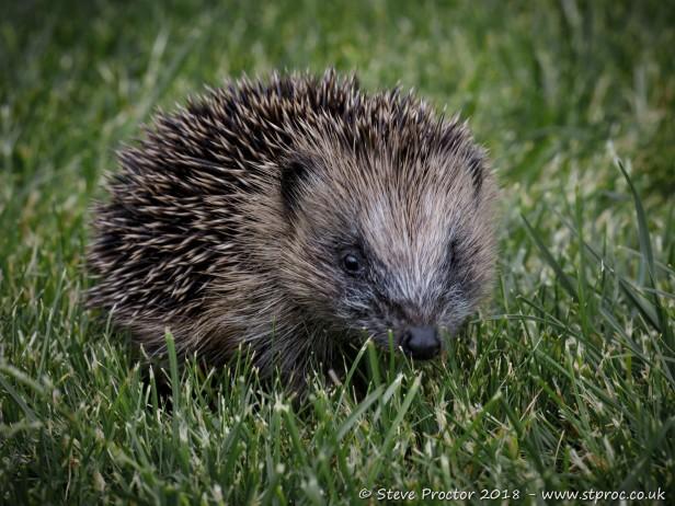 Hedgehog Juvenile