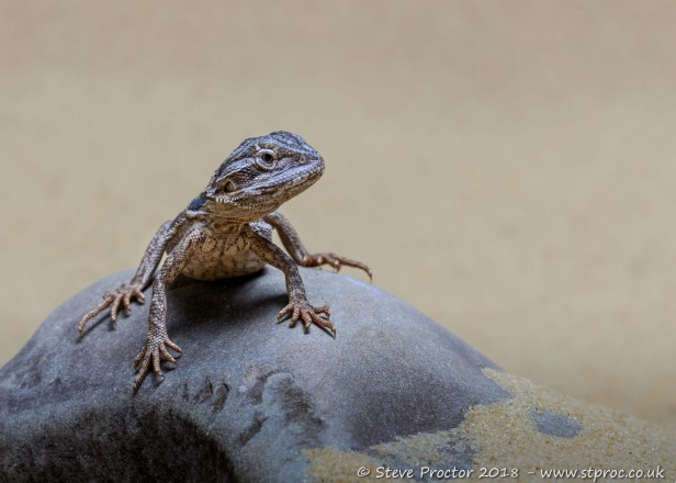 Bearded Dragon on Rock (web)